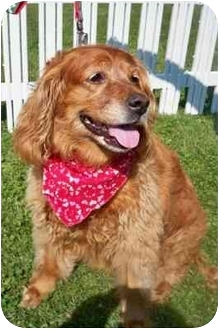 Golden Retriever Mix Dog for adoption in Palatine, Illinois - RUSTY
