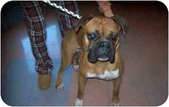 Boxer Dog for adoption in Davis, California - Lewis