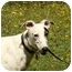 Photo 2 - Greyhound/Whippet Mix Dog for adoption in Santa Rosa, California - Clay