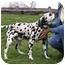 Photo 4 - Dalmatian Dog for adoption in Ripley, Ohio - Levi