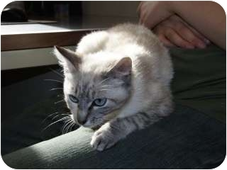 Siamese Kitten for adoption in Libby, Montana - Snuggles