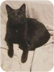 Domestic Shorthair Cat for adoption in Sugar Land, Texas - -Donald