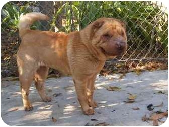 Shar Pei Mix Dog for adoption in El Cajon, California - Lucy