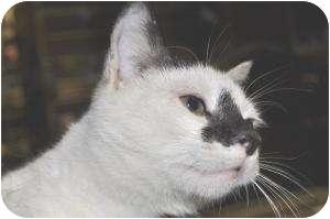 Domestic Shorthair Cat for adoption in Chesapeake, Virginia - Scamp