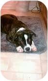 Boston Terrier/Pit Bull Terrier Mix Puppy for adoption in Plainfield, Illinois - Thea