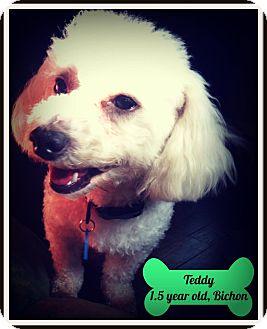 Bichon Frise Dog for adoption in Troy, Michigan - Teddy