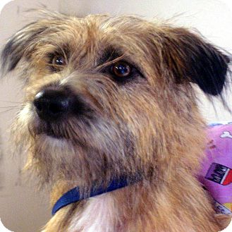 Border Terrier Mix Dog for adoption in Manassas, Virginia - gypsy