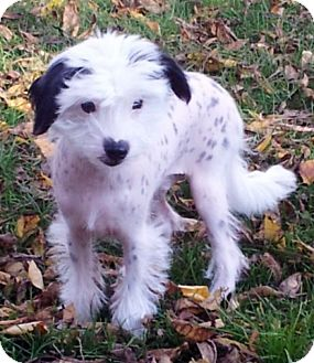 Chinese Crested Mix Puppy for adoption in Toronto, Ontario - Marshall