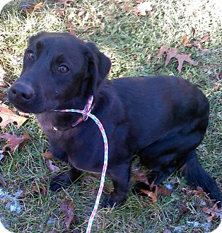 Labrador Retriever/Pointer Mix Dog for adoption in Hammonton, New Jersey - reese