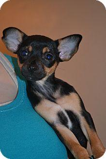 Chihuahua Mix Puppy for adoption in Smithfield, North Carolina - Gabby