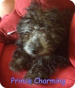 Poodle (Miniature) Puppy for adoption in New Jersey, New Jersey - Bricktown NJ - Charming