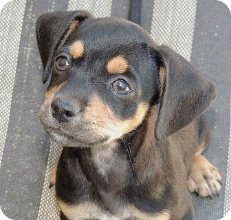 Beagle/Dachshund Mix Puppy for adoption in La Habra Heights, California - Finn