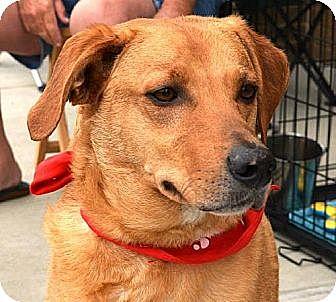 Labrador Retriever/Australian Shepherd Mix Dog for adoption in Tunica, Mississippi - HIGHWAY