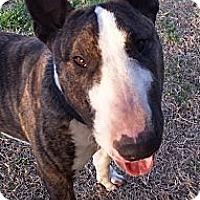 Adopt A Pet :: Bogie - Sachse, TX