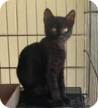 Domestic Shorthair Kitten for adoption in Stillwater, Oklahoma - Dwayne
