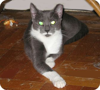 Domestic Shorthair Cat for adoption in New York, New York - Violet