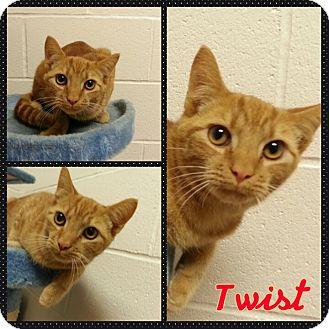 Domestic Shorthair Cat for adoption in Louisburg, North Carolina - Twist