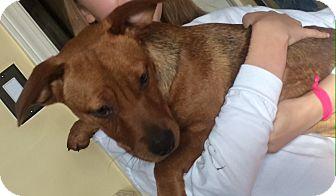 Corgi/Dachshund Mix Puppy for adoption in KITTERY, Maine - VELMA