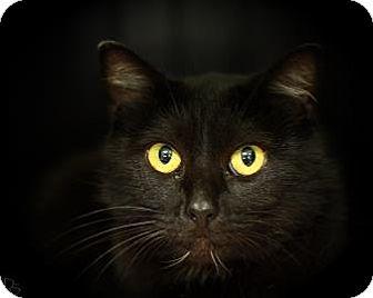 Domestic Mediumhair Cat for adoption in Parma, Ohio - Baby