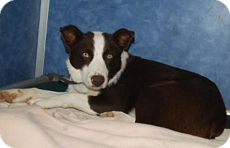 Border Collie Mix Dog for adoption in Ridgway, Colorado - Bullet