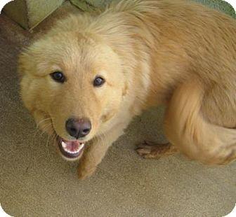 Golden Retriever Mix Puppy for adoption in Bulverde, Texas - Sadie