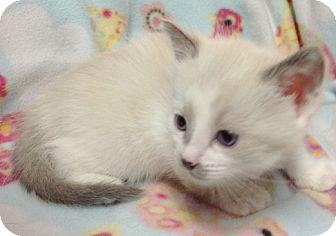 Siamese Kitten for adoption in Great Falls, Montana - Dee