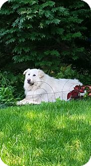 Great Pyrenees Dog for adoption in Lee, Massachusetts - Lena - in MA