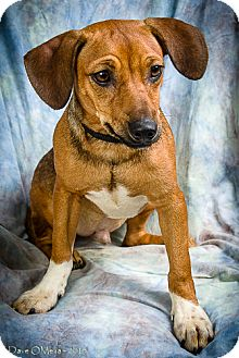 Dachshund/Miniature Pinscher Mix Dog for adoption in Anna, Illinois - LOGAN