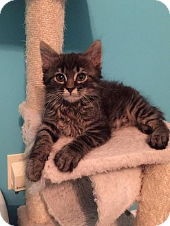 Domestic Longhair Kitten for adoption in Charlotte, North Carolina - A..  Nico