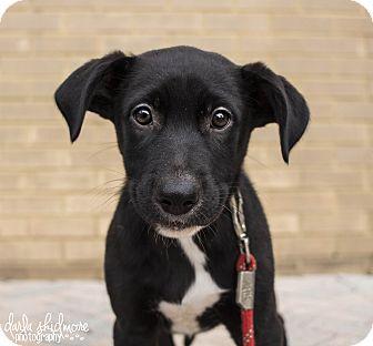 Hound (Unknown Type)/Labrador Retriever Mix Puppy for adoption in Charlotte, North Carolina - Calamity Jane (Wanter Litter)