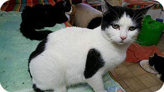 Domestic Shorthair Cat for adoption in Mesa, Arizona - Dice (FELV +)