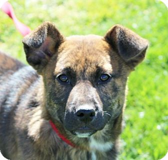 German Shepherd Dog/Mountain Cur Mix Puppy for adoption in Liberty Center, Ohio - Pi