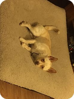 Terrier (Unknown Type, Small)/Chihuahua Mix Dog for adoption in Providence, Rhode Island - Oscar