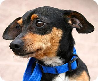 Miniature Pinscher Mix Dog for adoption in Erwin, Tennessee - Ricky