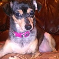Adopt A Pet :: Lilly Rose - Loxahatchee, FL