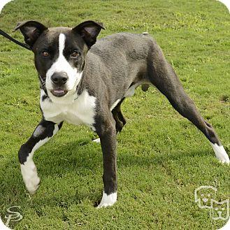 Border Collie/Pit Bull Terrier Mix Dog for adoption in Stillwater, Oklahoma - McCoy