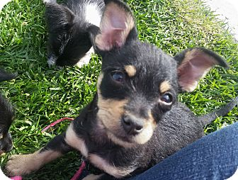 Chihuahua/Terrier (Unknown Type, Small) Mix Puppy for adoption in Victorville, California - Tinkerbell-Needs forever famil