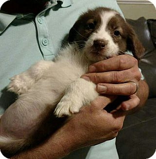 Border Collie Mix Puppy for adoption in Long Island, New York - Annie