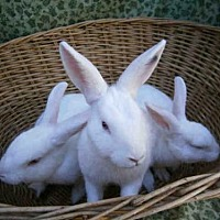 Adopt A Pet :: OPHELIA - Goleta, CA
