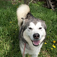 Alaskan Malamute Mix Dog for adoption in Augusta County, Virginia - Bucky