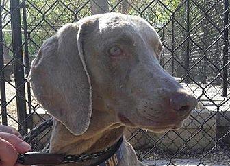 Weimaraner Dog for adoption in Birmingham, Alabama - Erin