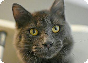 Domestic Longhair Cat for adoption in Aiken, South Carolina - Ezekiel