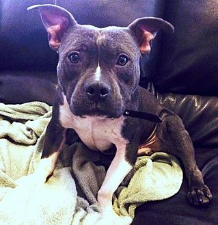 Staffordshire Bull Terrier/English Bulldog Mix Dog for adoption in Staten Island, New York - Lil' Gizmo *IMMED FOSTER HOME NEEDED*