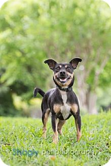 Chihuahua Mix Dog for adoption in Dallas, Texas - Midas