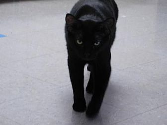 Domestic Shorthair/Domestic Shorthair Mix Cat for adoption in Freeport, Illinois - Pepper Jack