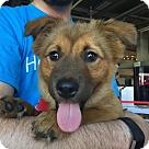 Adopt A Pet :: Shannon - ADOPTION PENDING!