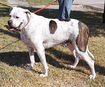 American Bulldog Mix Dog for adoption in Santa Fe, Texas - Zoe