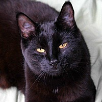 Domestic Shorthair Cat for adoption in Edmonton, Alberta - Elvira Veritas