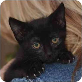 Domestic Shorthair Kitten for adoption in El Segundo, California - Abe