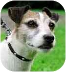 Jack Russell Terrier Dog for adoption in Rhinebeck, New York - Zeke